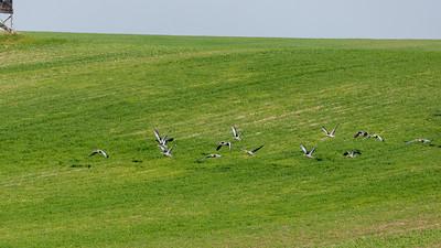Auch Graugänse sind am Großen Jasmunder Bodden auf der Durchreise nach Süden