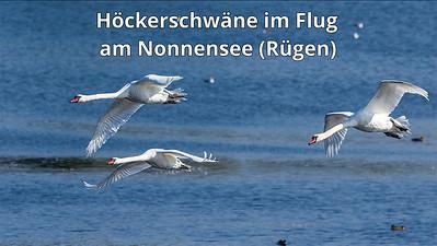 Höckerschwäne im Flug am Nonnensee, Rügen