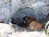 Marble Mtn (Colorado Sangre di Cristo Mtns).  Cave dog Clyde at the entrance to a small cave.  Clyde is a 145lb Mastiff who caves with no light.