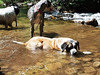 Dogs cooling off at the last stream crossing at the trailhead.