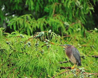Green Heron- Charleston, SC