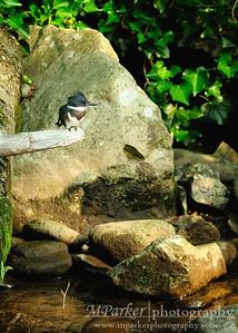 Belted Kingfisher Gatlinburg, Tn.