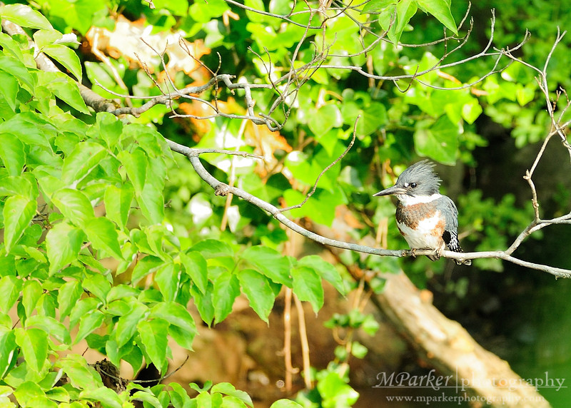 Belted Kingfisher Gatlinburg, Tn.
