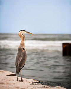 Great Blue Heron @ Gulf Shores Alabama