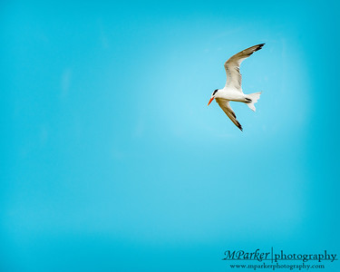 Tern @ Gulf Shores Alabama