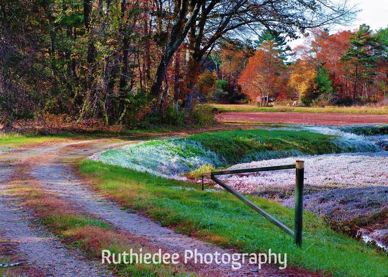 cranberry bog, Middleboro (1).jpg