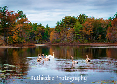 Family of Swans~