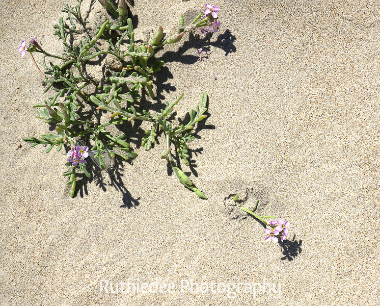 purple dune flower.jpg