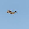 Brave Little Balckbird
