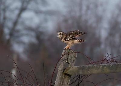 Gettysburg Battlefield Owls