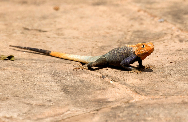 Red-headed Agama
