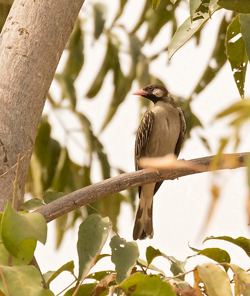 Greater Honeyguide, adult male
