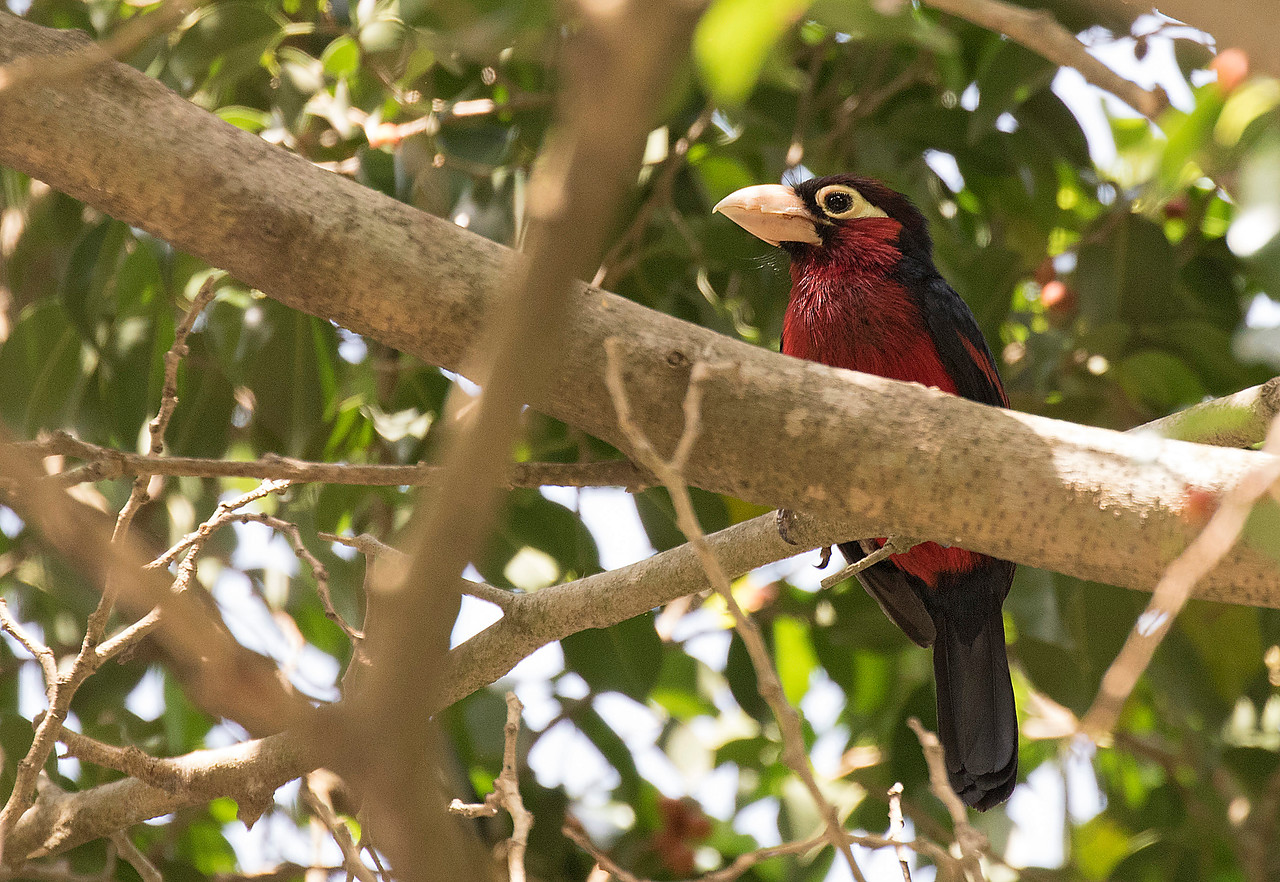Double-toothed Barbet