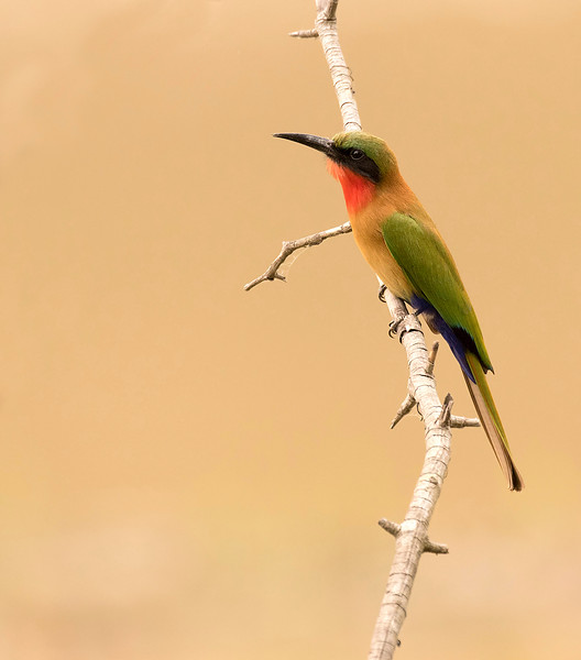 Red-throated Bee-eater