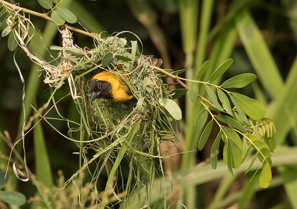 Slender-billed Weaver, male nest-building