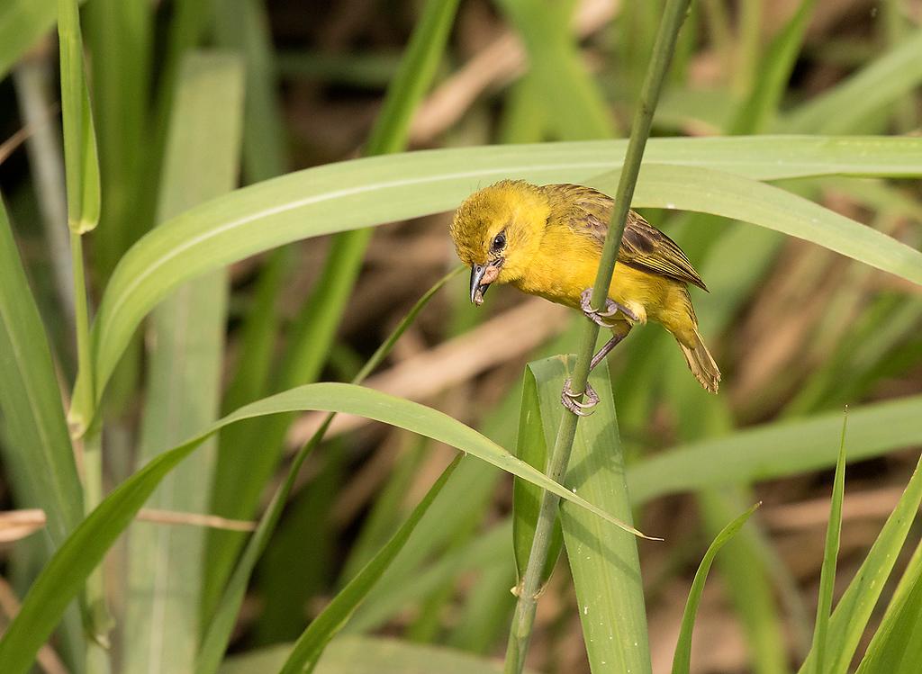 Slender-billed Weaver, female carrying food