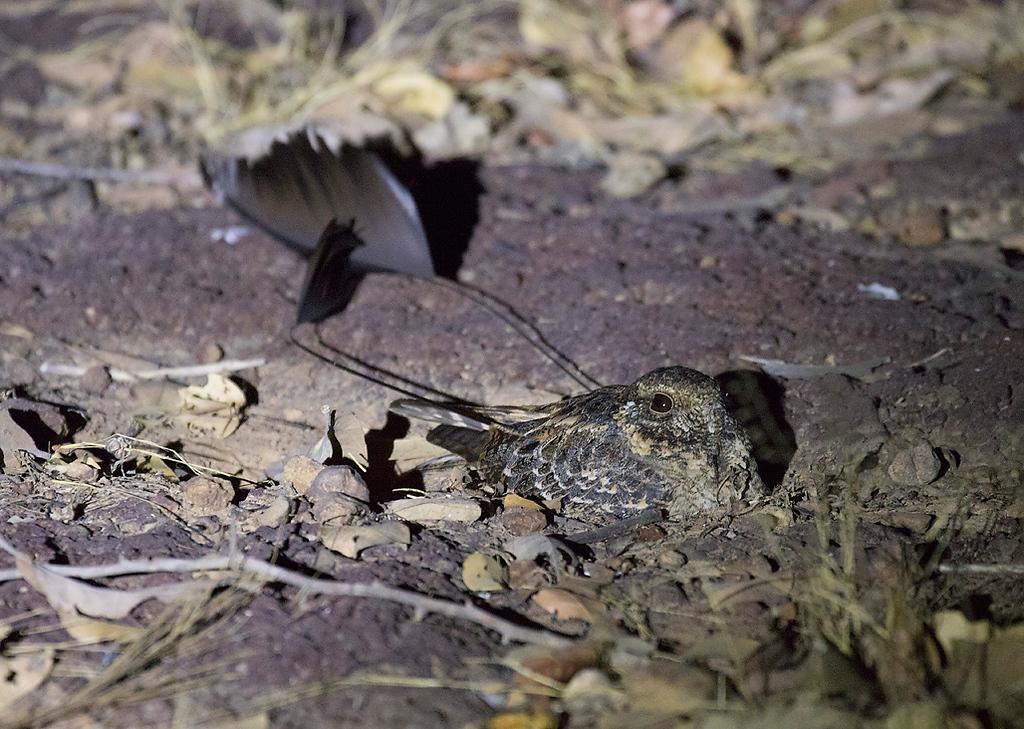 Standard-winged Nightjar