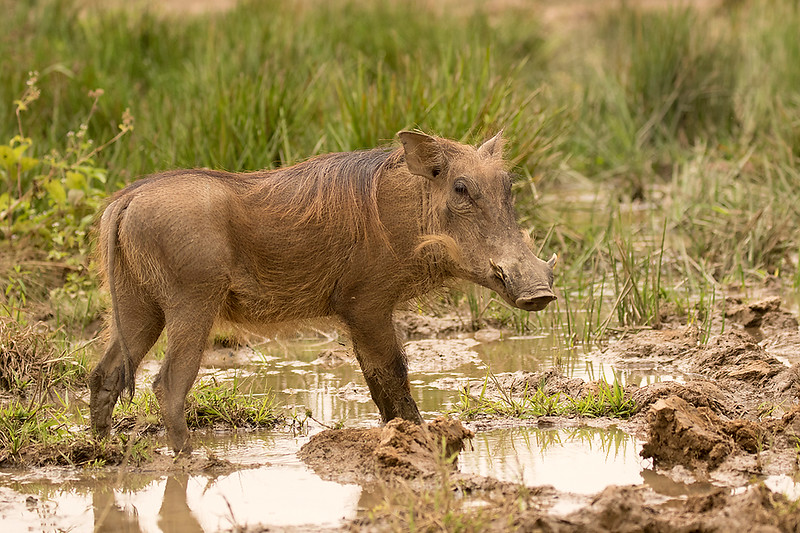Warthog, female