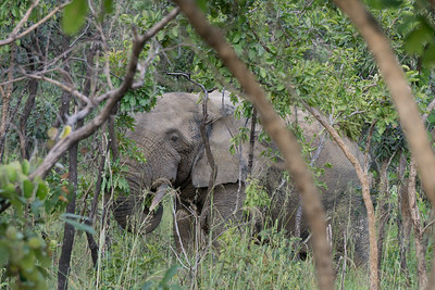 African Bush Elephant Eating