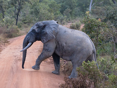 African Bush Elephant Crossing Road