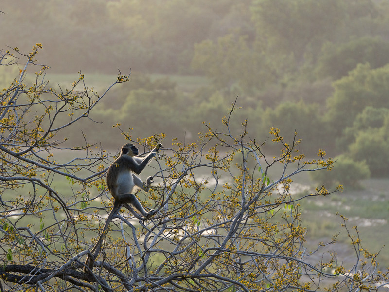 Tantalus Monkey Eating in Mole National Park
