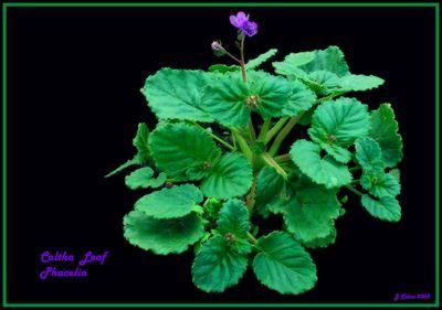 Caltha  Phacelia