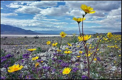 Badwater Flowers