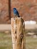 Blue Bird in Bodie