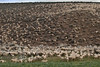 Herds of Sheep on the Road to Bodie