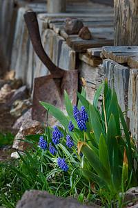 Middlegate Grape Hyacinth