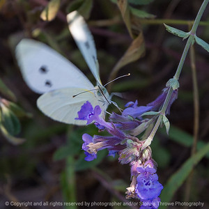 015-butterfly-wdsm-03aug18-03x03-006-300-6382