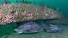 GSB 201 (left) & GSB 193<br /> Spongehenge, Hermosa Artificial Reef, Los Angeles County, California<br /> Photo by Phil Garner