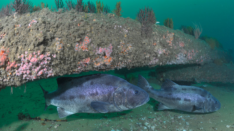 GSB 201 (left) & GSB 193<br /> Spongehenge, Hermosa Artificial Reef, Los Angeles County, California<br /> Photo by Phil Garner