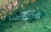 """Spotting GSB HERART011<br /> """"Baby""""<br /> MP GSB 22<br /> Fishbowl, Hermosa Artificial Reef, Los Angeles County, California"""