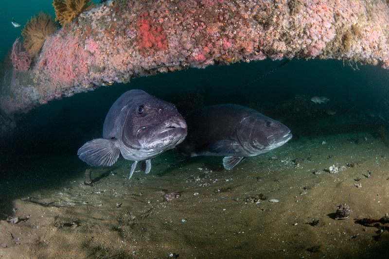 Z<br /> GSB mouth<br /> Spongehenge, Hermosa Artificial Reef, Los Angeles County, California