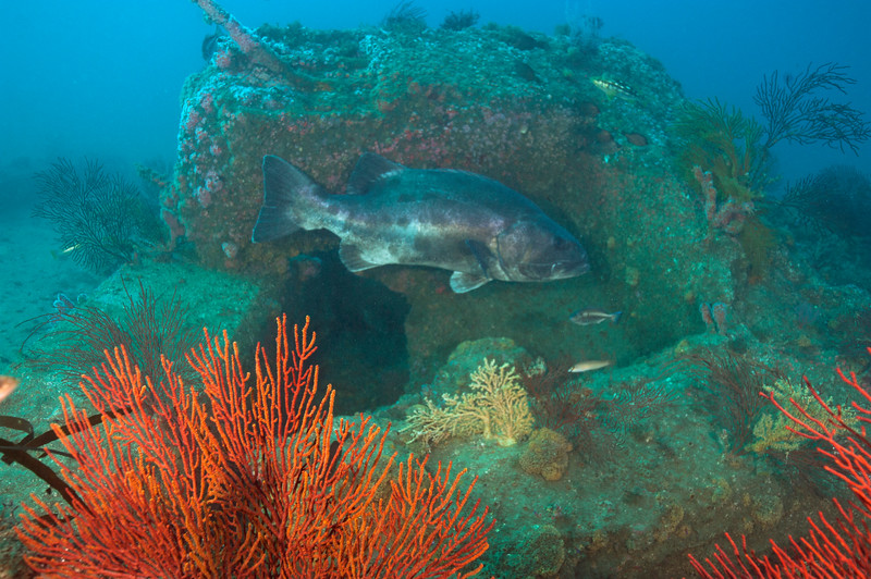 Spotting GSB HERART013<br /> Jimbo<br /> GSB 056<br /> Fishbowl, Hermosa Artificial Reef, Los Angeles County, California