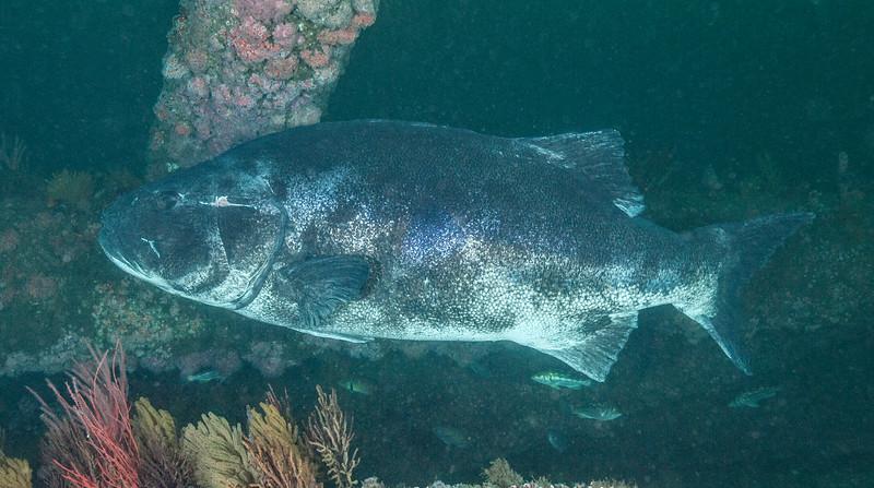 Spotting GSB HERART023 <br /> Herb<br /> Spongehenge, Hermosa Artificial Reef, Los Angeles County, California