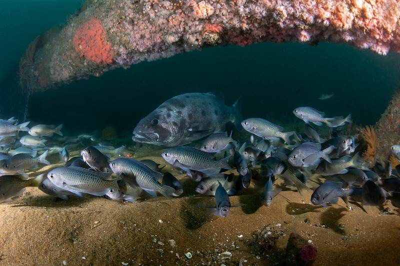 GSB and blacksmiths<br /> Spongehenge, Hermosa Artificial Reef, Los Angeles County, California