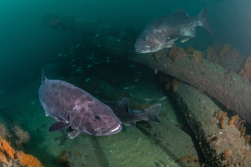 Z<br /> GSB trio<br /> Spongehenge, Hermosa Artificial Reef, Los Angeles County, California