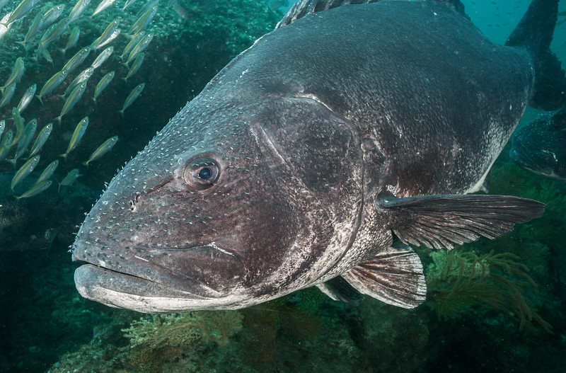 Z<br /> GSB<br /> Fishbowl, Hermosa Artificial Reef, Los Angeles County, California