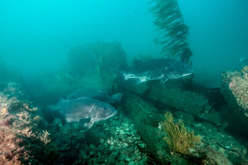 GSB<br /> Fishbowl, Hermosa Artificial Reef, Los Angeles County, California