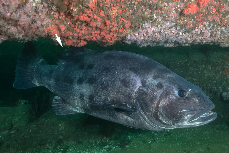 Spotting GSB 289<br /> GSB 311<br /> ragged dorsal fin<br /> Spongehenge, Hermosa Artificial Reef, Los Angeles County, California