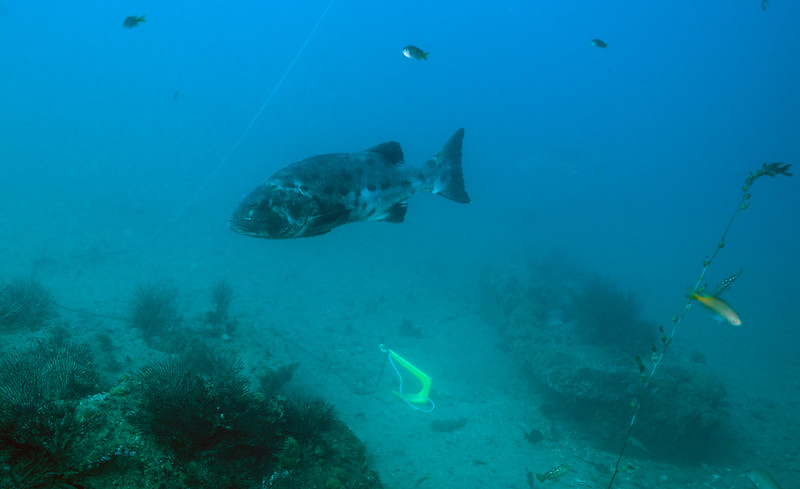 Spotting GSB HERART014<br /> Wagner<br /> GSB 059<br /> Fishbowl, Hermosa Artificial Reef, Los Angeles County, California