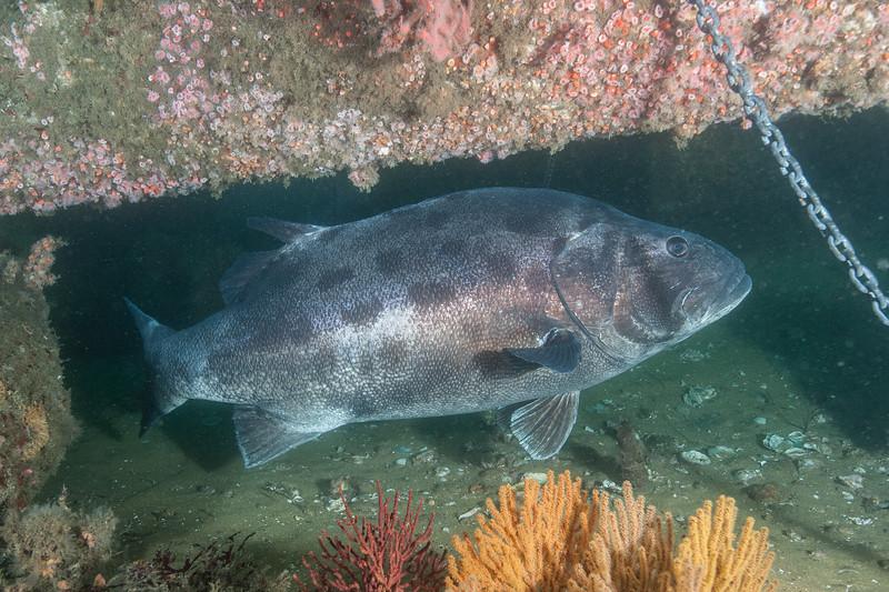 GSB 155 right side<br /> Spongehenge, Hermosa Artificial Reef, Los Angeles County, California