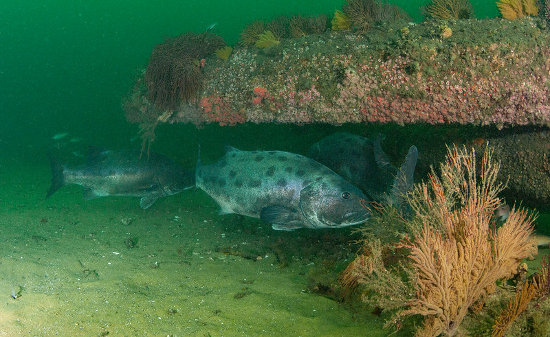 GSB 96, Stereolepis gigas<br /> Spongehenge, Hermosa Beach Artificial Reef, Los Angeles County, California