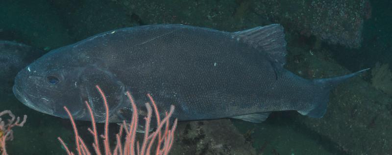 GSB 198 left side<br /> Spongehenge, Hermosa Artificial Reef, Los Angeles County, California<br /> Photo by Phil Garner