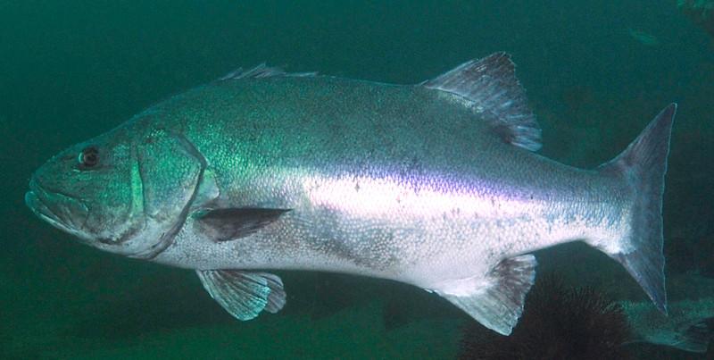GSB 206<br /> Spongehenge, Hermosa Artificial Reef, Los Angeles County, California<br /> Photo by Phil Garner