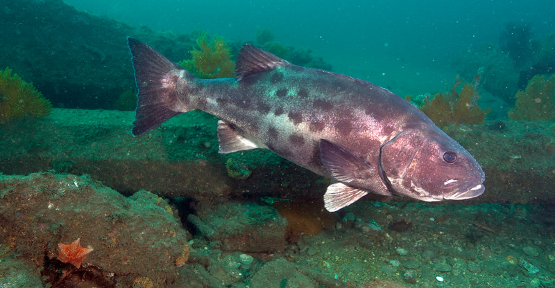 Spotting GSB HERART024<br /> Buchanan<br /> GSB 068<br /> Fishbowl, Hermosa Artificial Reef, Los Angeles County, California