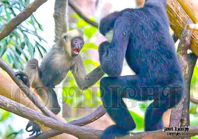 White Cheeked Gibbons