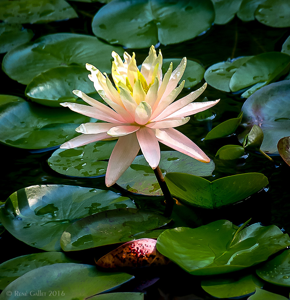 Blush Lily